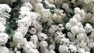 Спирея - Цветы невесты (белая невеста) видео 2016