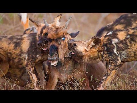 Гиеновидные Дикие Собаки в Деле / Дикие Собаки Против Льва, Гиены, Буйвола