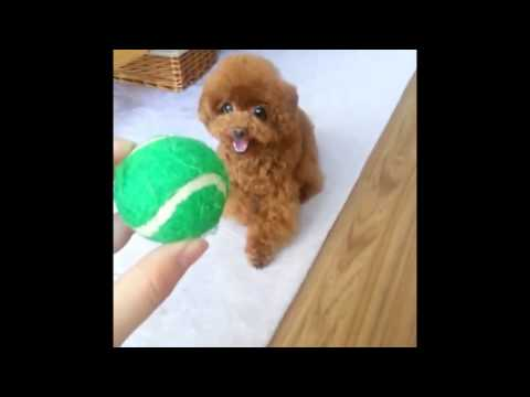 Apricot Miniature Poodles Playing Tennis Ball