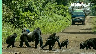 Silverback gorilla stops traffic to cross road | Gorilla Family and Me | BBC Earth