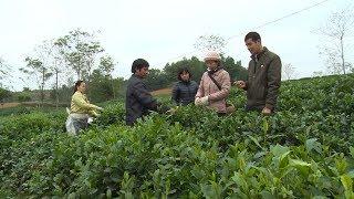 Thực hiện nghị quyết: Huyện Phú Lương xây dựng cây chè thành mũi nhọn phát triển kinh tế