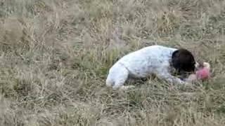 Kansas Akc German Shorthair Pointer Puppies Part1