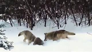 Барсук против волков
