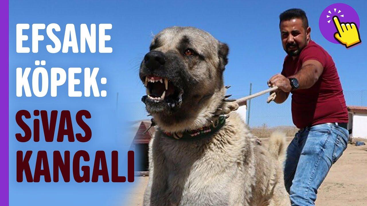 Kangal köpekleri hakkında bilinmeyenler! | Hayvanlar Alemi | İlginç bilgiler | Aklında olsun