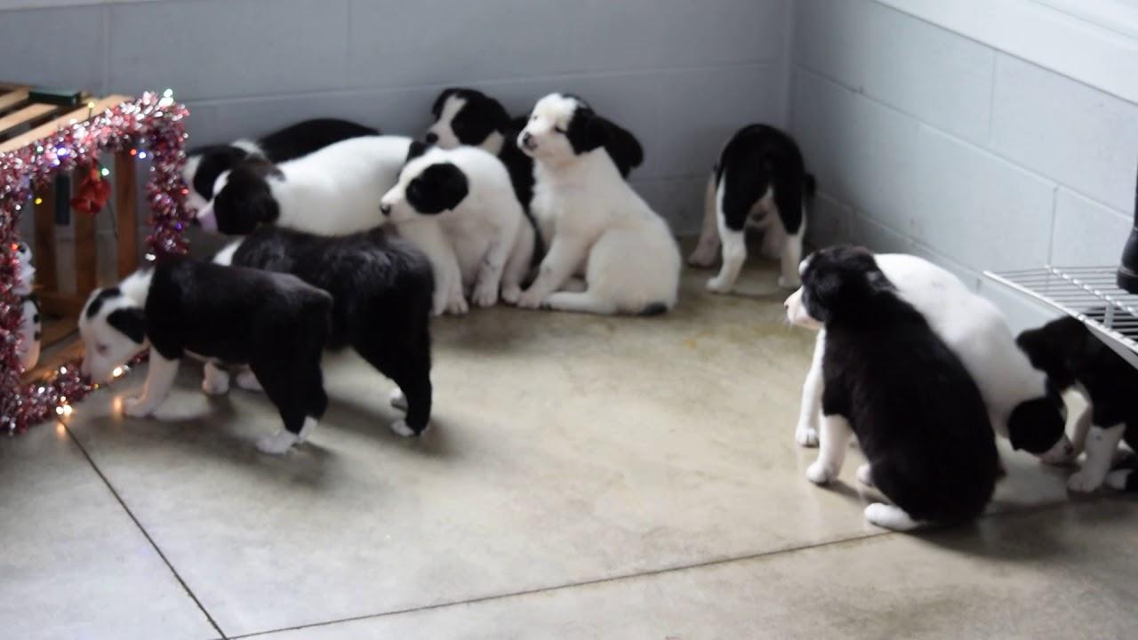 Puppyfindercom Border Collie Norwegian Elkhound Mix Puppy For
