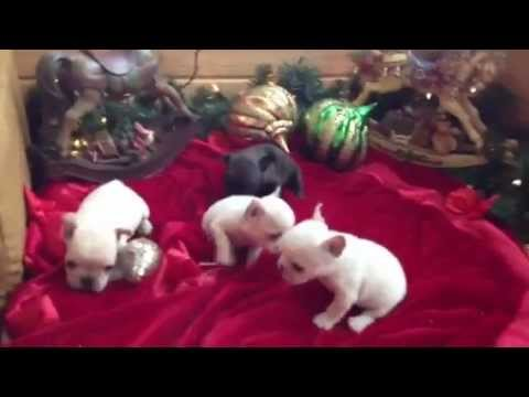 French Bulldog Puppies For Sale In Honney Brook Pa Youtube
