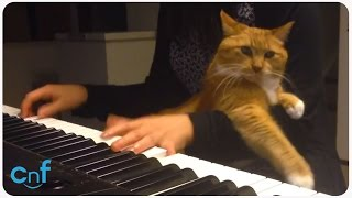 Cat Hates Piano Playing