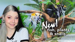 Angelfish Community Aquarium