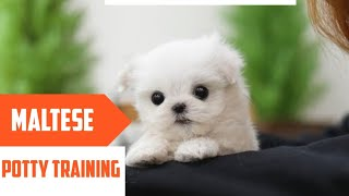 Steps to Potty Training your Maltese PuppyHousebreaking Maltese Puppies
