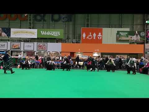 Crufts 2019 /Gordon Setter /Good Citizen Dog Scheme Bitch