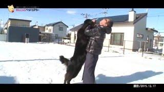 ニューファンドランド犬の「ユキ」、1歳半のメスです。ユキは、北海道ボ...
