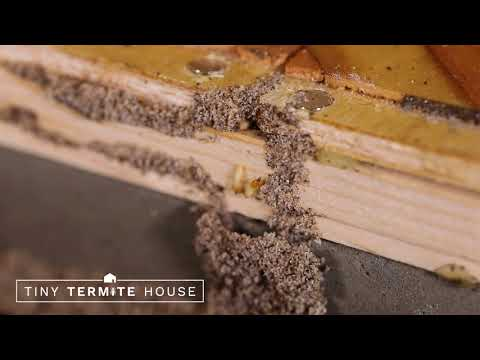 Mud Tubes in Tiny Termite House
