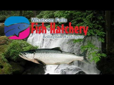 Washington State Fish Hatchery At Whatcom Falls Bellingham Washington