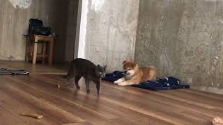 ЖИЗНЬ С АКИТА-ИНУ. щенок (3 месяца) играет с кошкой