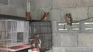Rescatados 7 buhos, un Aguila y un halcon