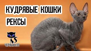 Кудрявые кошки рексы / Интересные факты о кошках