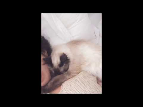 Ragdoll, the sweetest cat