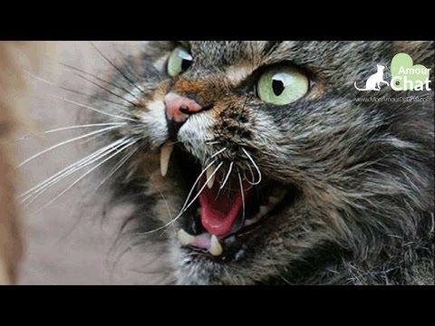 Chat Agressif, TERRIBLE Video De Chats Agressifs Et En Colère, Chat Qui Griffe
