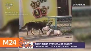 Дворняжка отвязала от забора породистого пса и увела его гулять - Москва 24