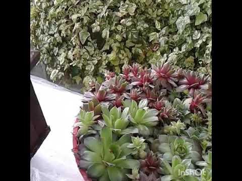 Восхитительные композиции из суккулентов в вашем  саду