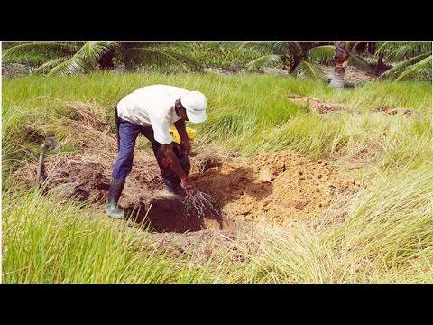 Curso Adubação do Coqueiro Anão - Adubação Antes do Plantio