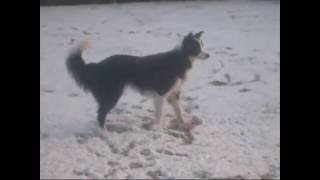 My Border Collie playing in the snow