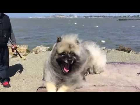 Keeshond Bodhi Bear in the Wind