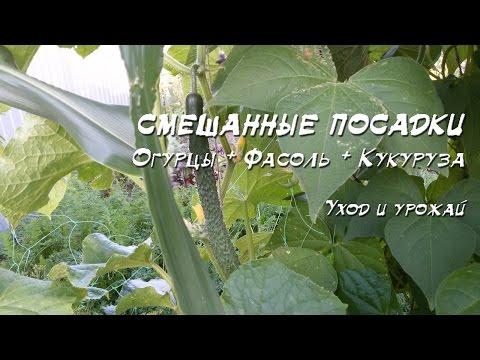 Смешанные посадки 2016: Огурец + фасоль + кукуруза + лук + зелень