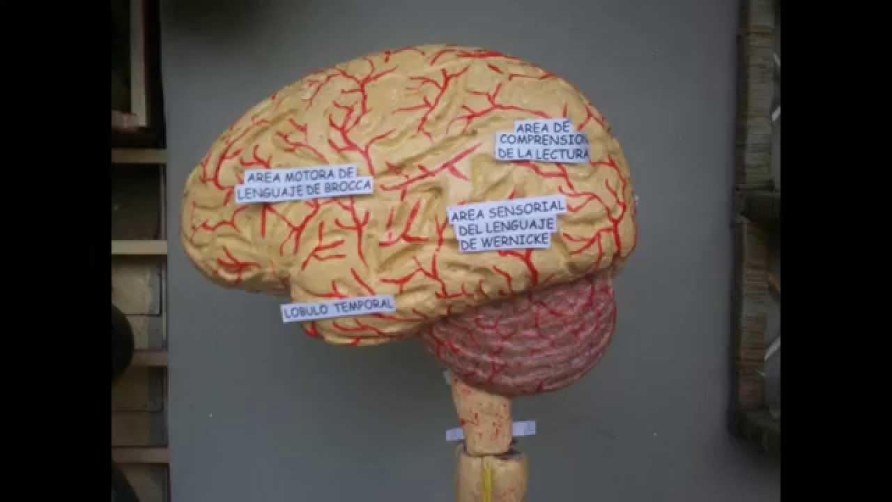 Maqueta] Modelo Anatómico del Sistema Nervioso Central - YouTube