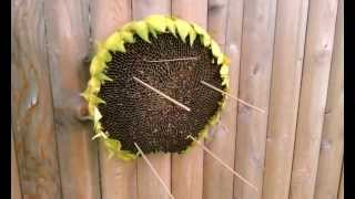 Diy Sunflower Head Bird Feeder. Natural, Easy.