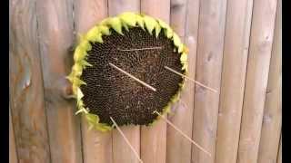 Diy Sunflower Head Bird Feeder. Natural, Easy.