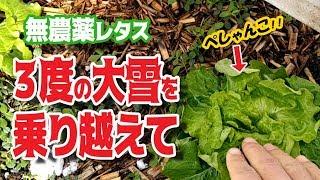 Gambar cover 【無農薬レタス栽培#5】収獲間近!!いろんな壁を乗り越えて...