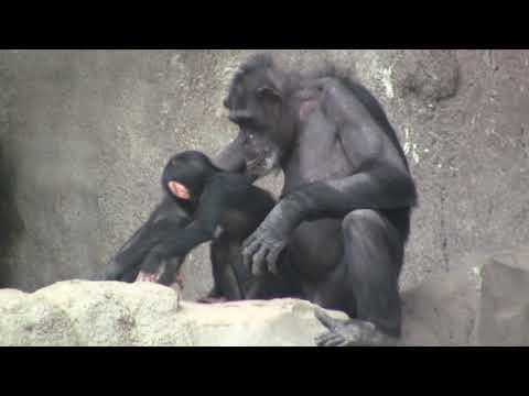 chimp evening fokus makeni - 1