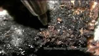 Springtails In The Worm Bin