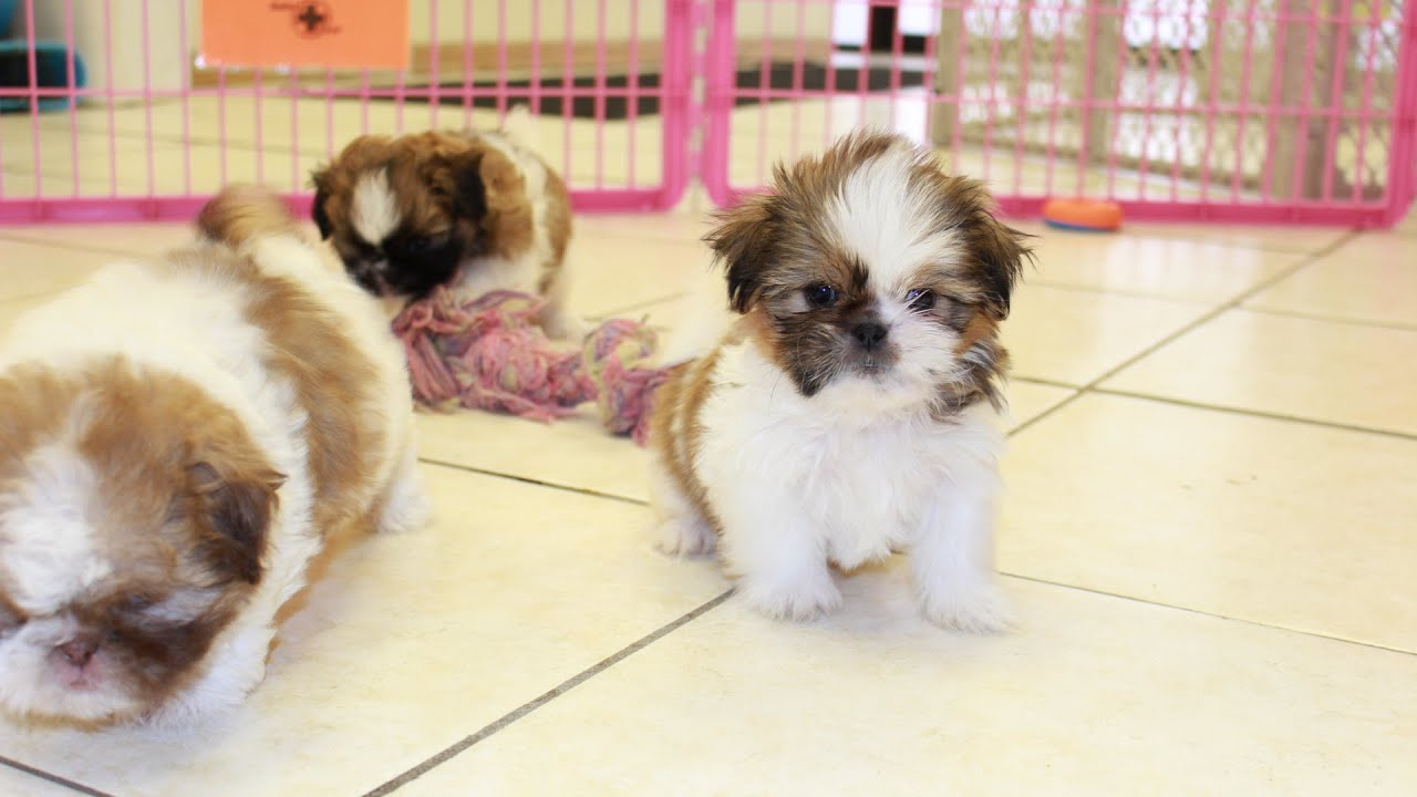 All About Shih Tzu Puppies For Sale In Missouri Local Puppy Breeders