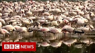 Flamingos turn Indian lakes into 'sea of pink' - BBC News