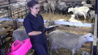 Identification et prise de données à l'agnelage