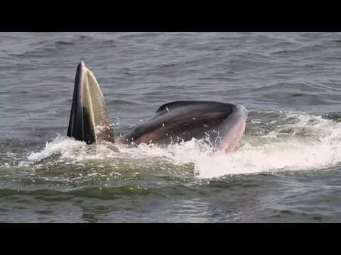 Bryde's Whale / 2 Oct 2016