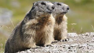 Ardèche - Les Marmottes (Mont Mezenc)