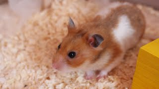 HOW TO TAME A HAMSTER 🐹 | Malica Hamilton