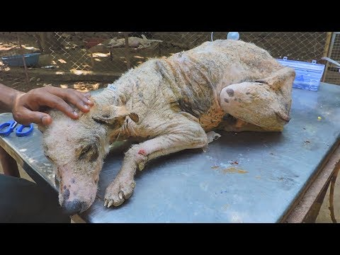 Transformation of suffering emaciated street dog stricken with mange