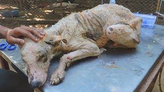 Transformation of suffering emaciated street dog stricken with mange