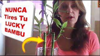 Cuidados de la planta de Lucky Bamboo o Bambú de la Suerte