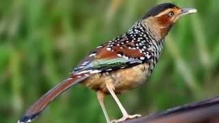 Suara Burung Spotted Laughingthrush MP3