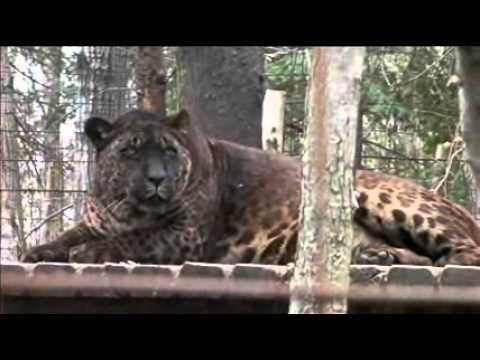 Bear Creek Sanctuary - Jaglions Tsunami & Jahzara