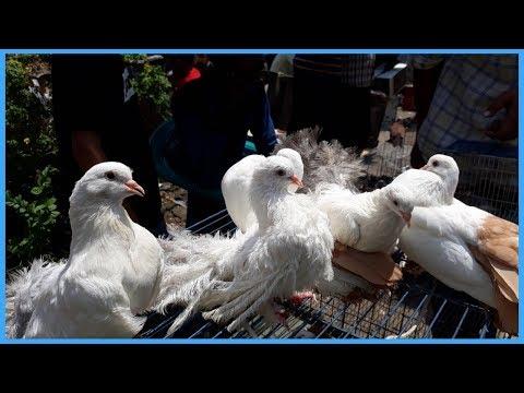pigeon video by Pigeons Hat Kaptan Bazar & homing pigeons for sale
