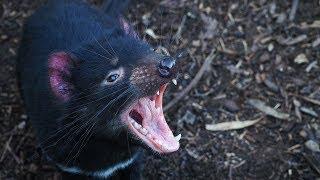 When Tasmanian Devils Attack