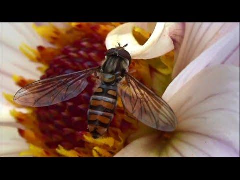Episyrphus balteatus (De Geer, 1776) - Syrphe ceinturé - fausse guêpe - 10/2014