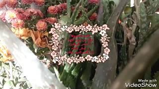 انقاذ الالوفيرا من الموت  (save your Aloe vera) بسبب تعفن الجذور أو حرق الشمس أو قلة الماء