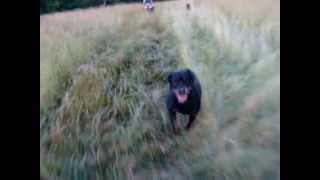 How Fast Can A Rottweiler Run?